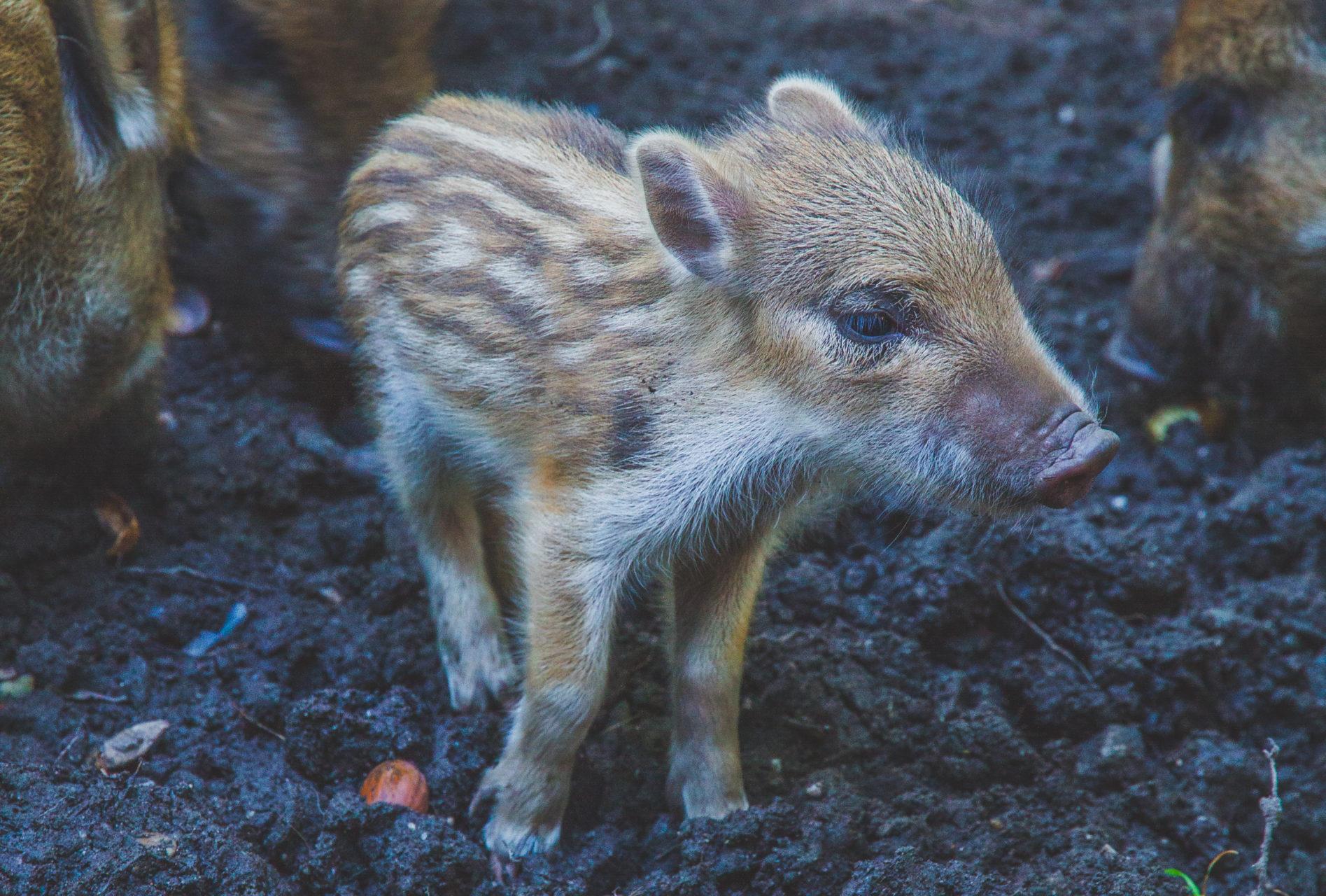 junges Wildschwein im Duisburger Stadtwald