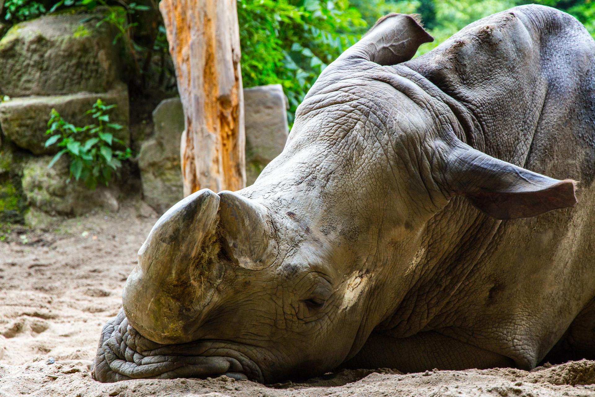 Nashorn im Zoo Duisburg