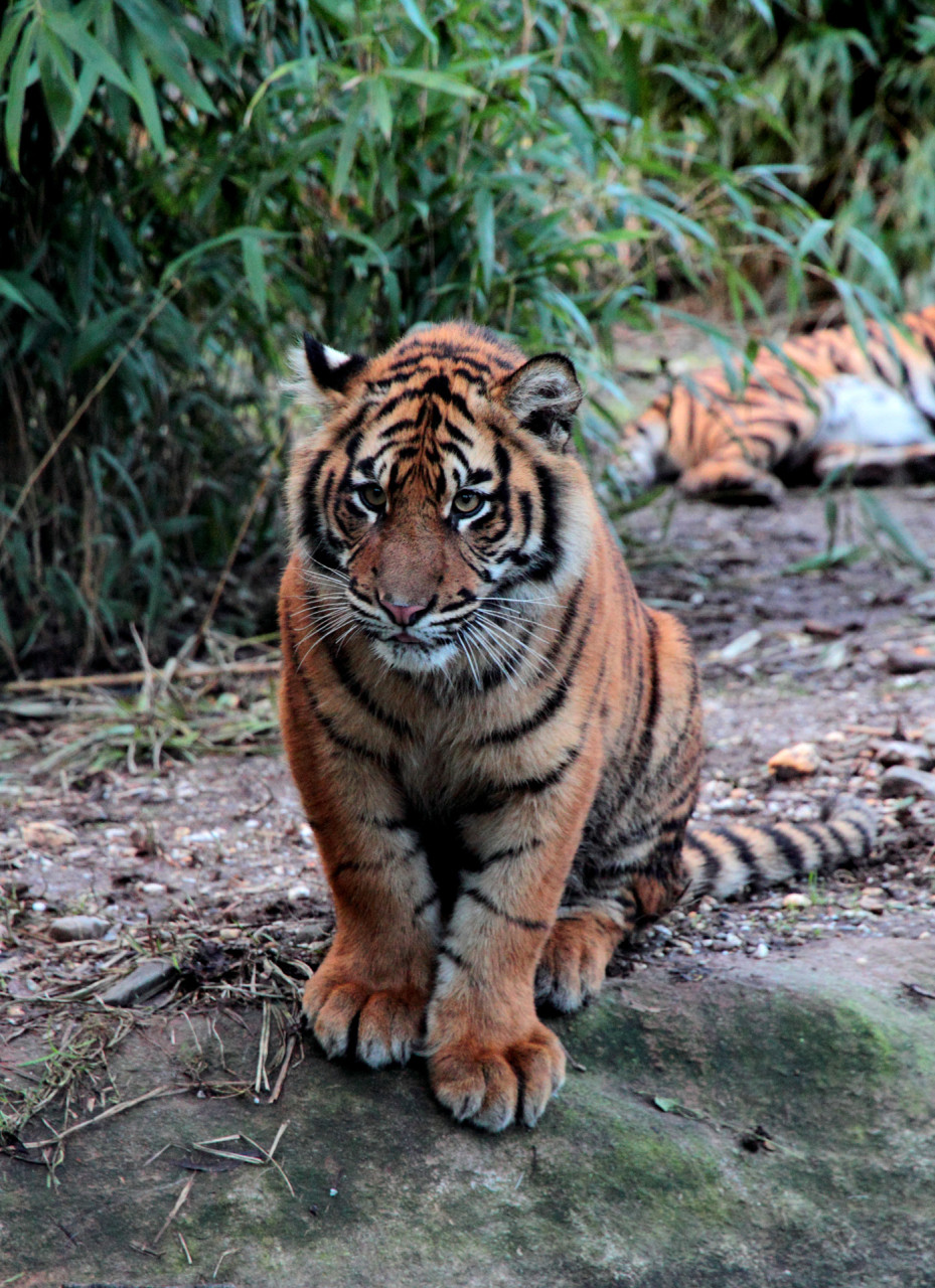 Tiger im Zoo Krefeld