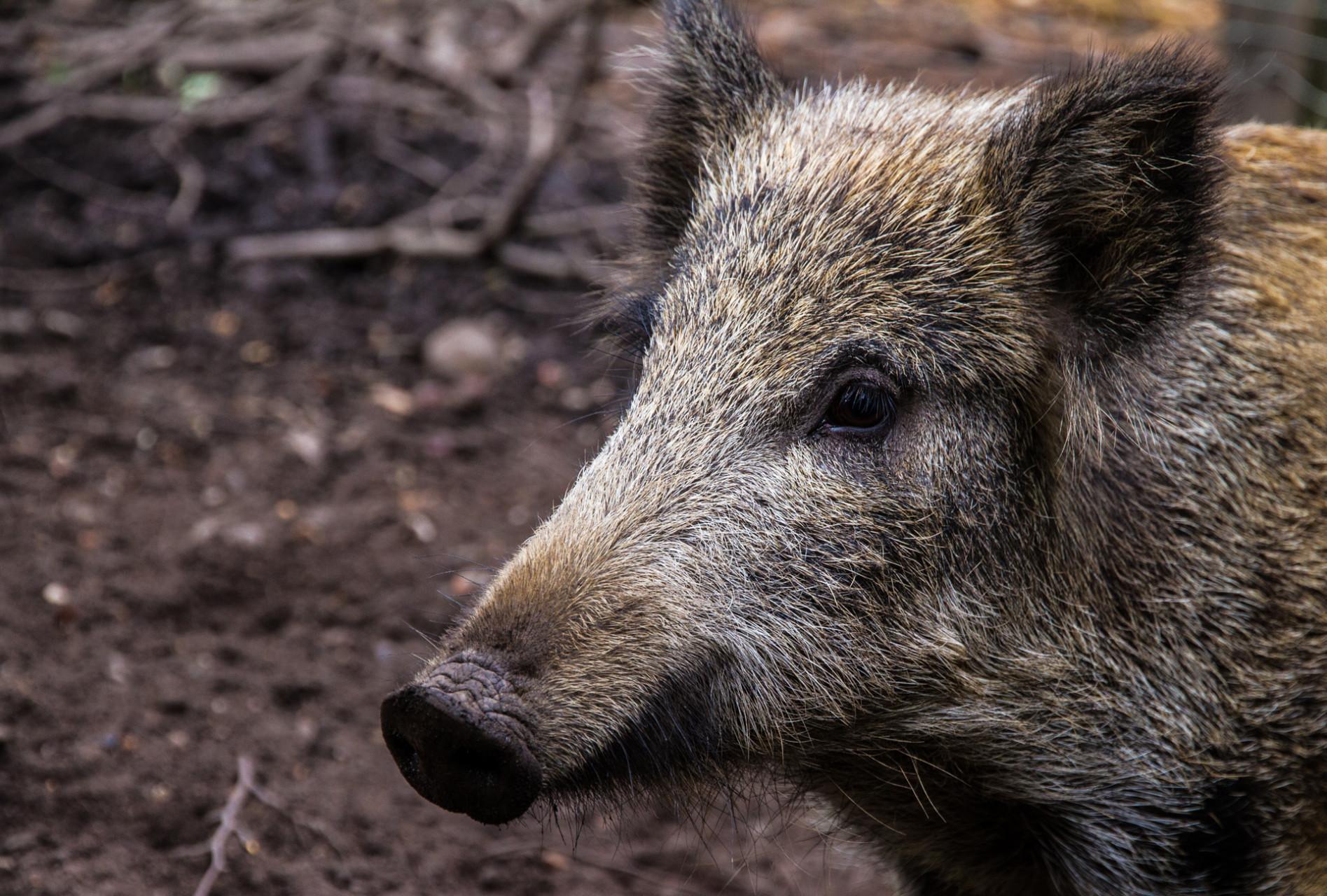 Wildschwein im Duisburger Stadtwald